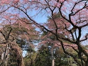 sakura_IMG_3659.jpg